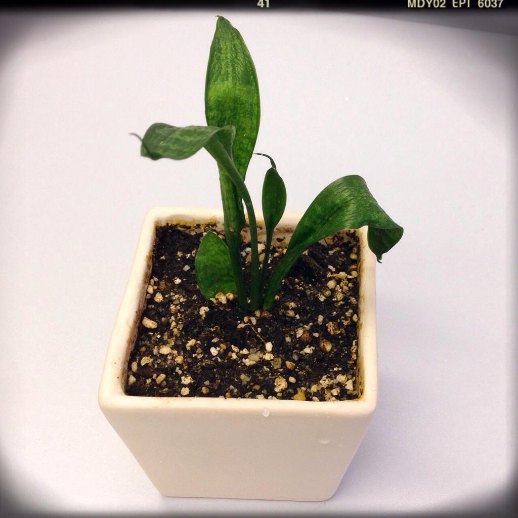 P: Plant